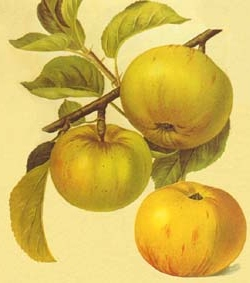Malus domestica 'Jacques Lebel' - herfstappel
